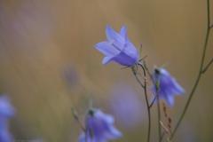 campanula#(20210803)c flora