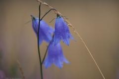 campanula#(20210803)re flora