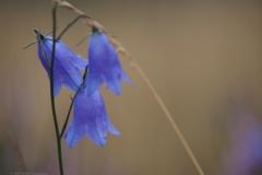 campanula#(20210803)li flora