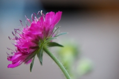 knautia#(20200805)li flora