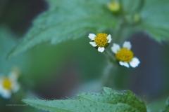 harig knopkruid#(20200805) flora