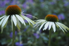 zonnehoed#(20200805)a flora