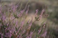 struikhei#(20200810) flora