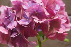 hortensia#(20210813)b flora