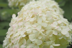 hortensia#(20210813)a flora