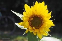 zonnebloem#(20200814)a flora