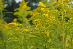 guldenroede#(20210815) flora