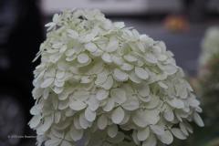 hortensia#(20190828) flora