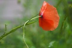 klaproos#(20210829) flora