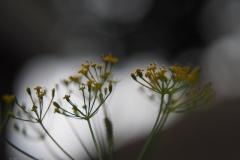 dille#(20210829) flora
