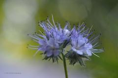 phacelia#(20210902)b flora