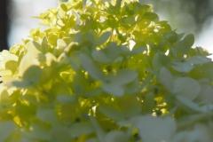 hortensia#(20210902) flora