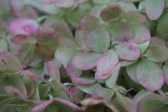 hortensia#(20200910)a flora