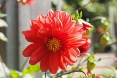 dahlia#(20200915) flora
