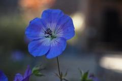 geranium#(20190920)a flora