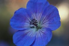geranium#(20190920)aa flora