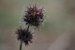 hennepnetel#(20201016) flora