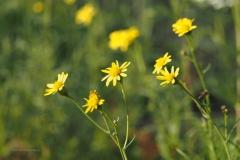 bezemkruiskruid#(20201107) flora