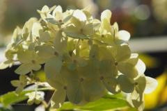 hortensia#(20201109) flora