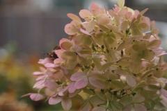 hortensia#(20201110) flora