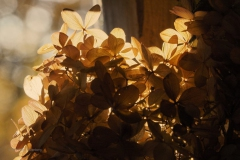 hortensia#(20191110) flora