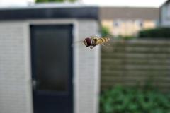 zweefvlieg#(20130725) insecten