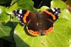 vlinder#(20151025) insecten