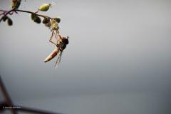 zweefvlieg#(20180816) insecten
