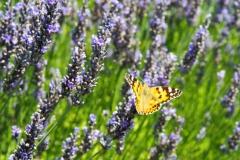 vlinder#14