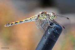 libelle#(20180812)a insecten
