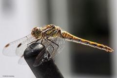 libelle#(20180812) insecten