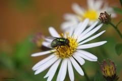 vlieg#(20180829) insecten