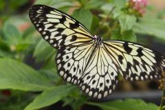 vlinder#06