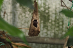 vlindercocon