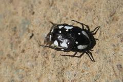 kever#(20121127) insecten