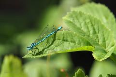 libelle#(20200527)c insecten