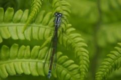 azuurwaterjuffer#(20210529) insecten