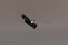 zweefvlieg#(20210807)b insecten