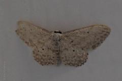 nachtvlinder#(20200821) insecten