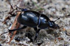 mestkever#(20200821) insecten