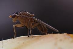 afvalvlieg#(20201016) insecten