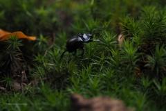 mestkever#07 (20201018) insecten
