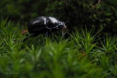mestkever#08 (20201018) insecten