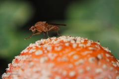 afvalvlieg#(20201021) insecten