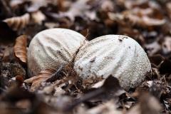 coprinopsis atramentaria