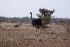 struisvogel#(20141105)