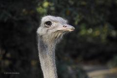 struisvogel#03