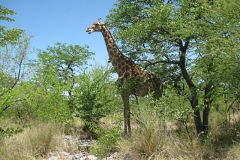 giraffe#(20121205)