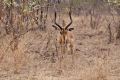 antilope#01