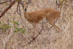 antilope#07